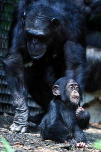 Chimpanzee_mom_and_baby