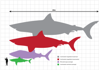 Megalodon_scale.svg
