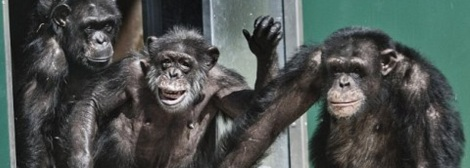 With-a-wave-and-what-appears-to-be-a-smile-chimpanzees-step-into-the-daylight-for-the-first-time-in-30-years-at-the-Gut-Aiderbichl-Animal-Sanctuary-near-Salzburg-Austria